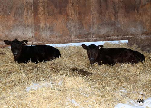 Harvest Angus Spring 2015 Calves