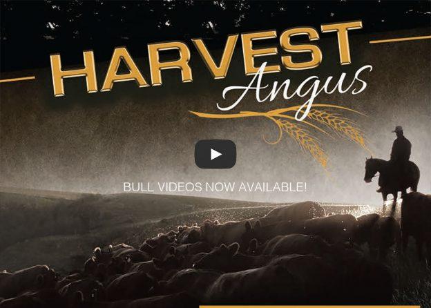 harvest angus bull sale details