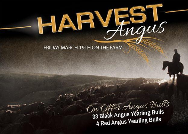 Harvest Angus Bull Sale